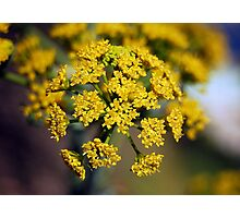 The Common Fennel Photographic Print