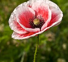 White and Red Poppy by Great North Views