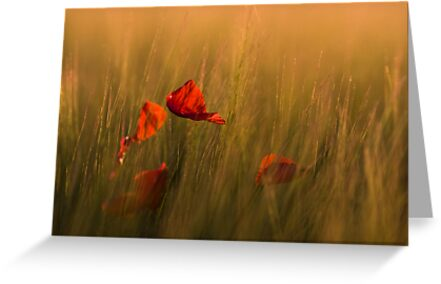 Red Petals by geoff curtis