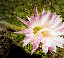 Cactus flower by Madilation