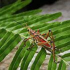Mr. Grasshopper  by photo4sale