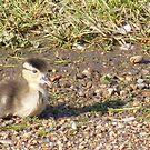 Lost duck by Rachel Hoffman