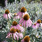 pink echinacea flower photo art by Sheila McCrea