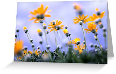 Daisies by Cathy Middleton