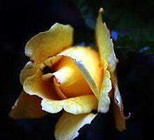 Night Rose by Photoflirt