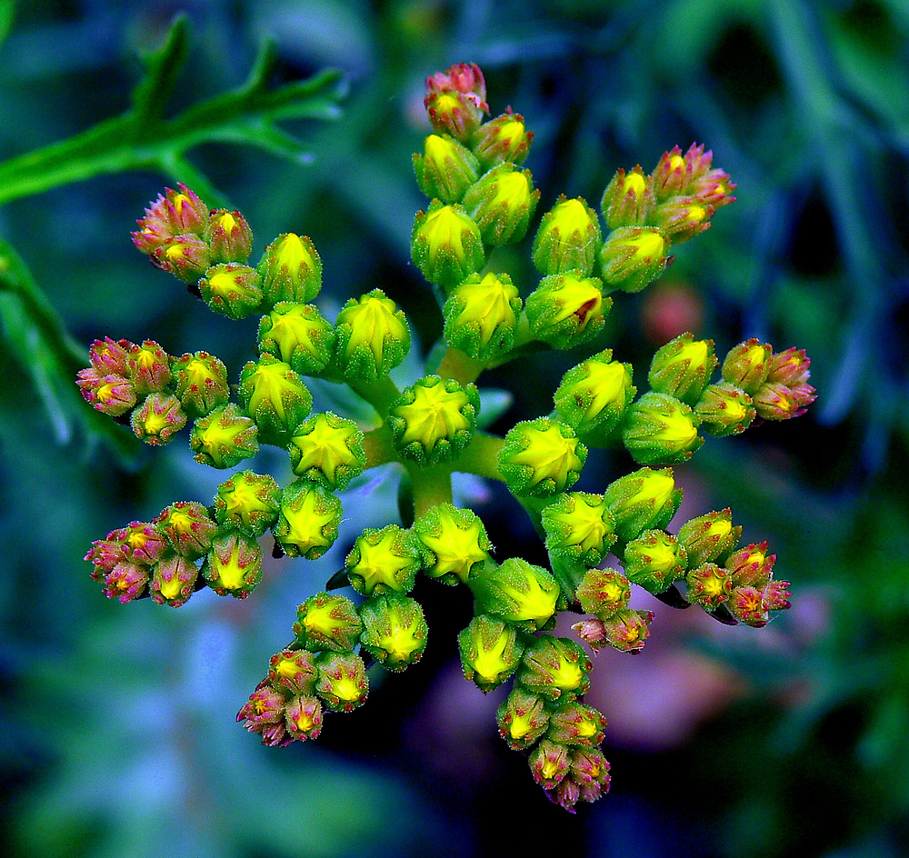 Wild Flower Bud Pre Bloom by LjMaxx