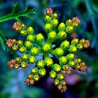 Wild Flower Bud Pre Bloom by LjMaxx