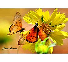 BUTTERFLY SERIES - Natal Acraea Photographic Print