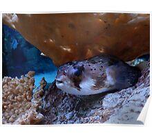 Hiding Puffer Fish Poster