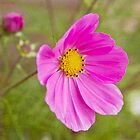 Cosmos Pink by DIANE  FIFIELD