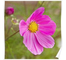 Cosmos Pink Poster