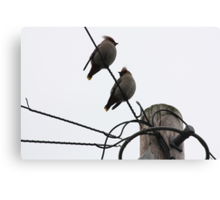 Waxwings on a Wire, Newtongrange Canvas Print