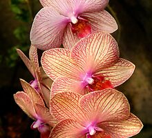 Phalaenopsis - A set of beauties by Mike  Savad