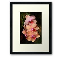 Phalaenopsis - A set of beauties Framed Print