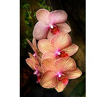 Phalaenopsis - A set of beauties Photographic Print