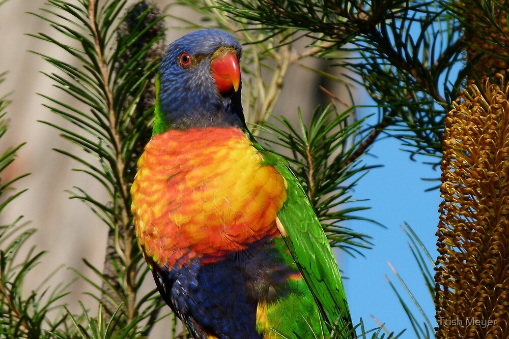 """""""I love hanging out among the Banksias."""" by Trish Meyer"""
