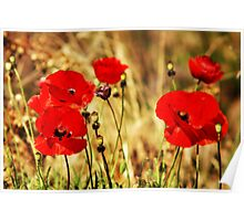 "Red Poppies - ""Summer Glow"" Poster"