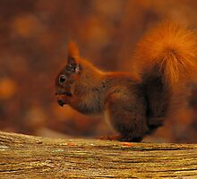 Red Squirrel On Brownsea Island by delros