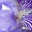 Iris by Rachel Hoffman