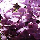 Lilacs by Rachel Hoffman
