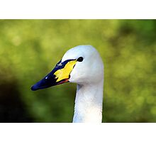 Sir Yellow Beak Photographic Print