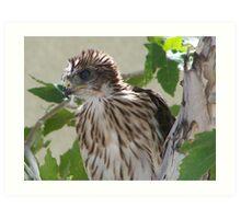 Baby Coopers hawk Art Print