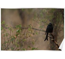 Forked Tailed Drongo Poster