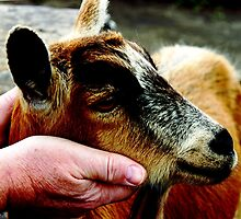 Goat in hands by Kelly  McAleer