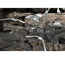 The flight of the GREAT BLACK BACKED GULL Photographic Print