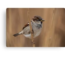 House sparrow (Passer domesticus) Canvas Print