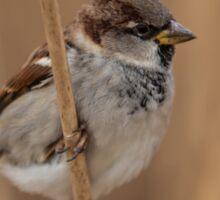 House sparrow (Passer domesticus) Sticker