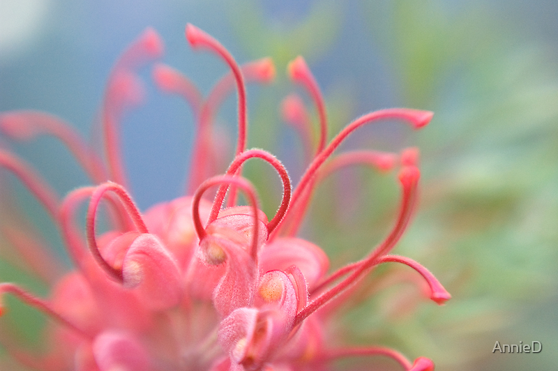 Grevillea 2 by AnnieD