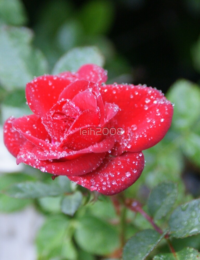 Spring dew - Red Rose Loves You! by leih2008