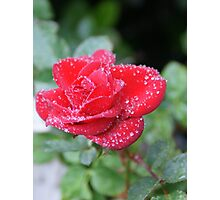 Spring dew - Red Rose Loves You! Photographic Print