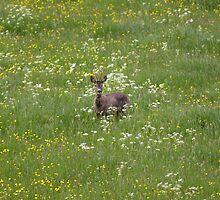 Roe Deer by kroscoe