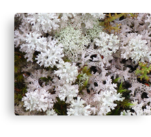 Snow Lichen - As delicate as Lace Canvas Print