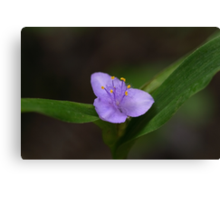 Spiderwort Canvas Print