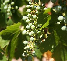 Grape by nizzadotcom