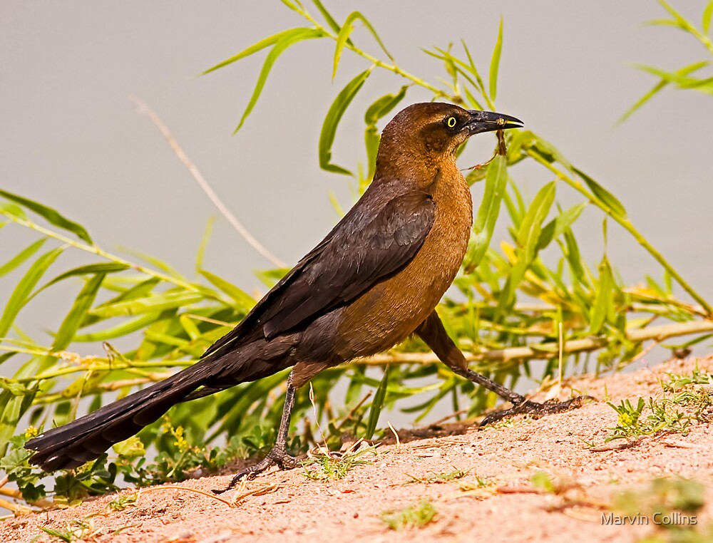 Great Tailed Grackle (Female) by Marvin Collins