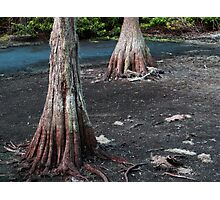 Cypress Trees.... Photographic Print