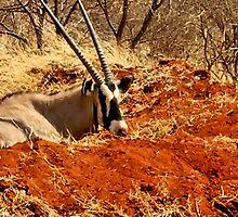 GEMSBOK - Oryx Gazella by Magriet Meintjes