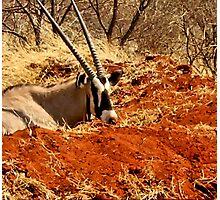 GEMSBOK - Oryx Gazella Photographic Print
