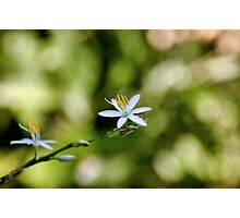 TWINKLE LITTLE STAR -  Chlorophytum bowkeri Photographic Print