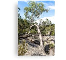 Curvature Gumtree Canvas Print
