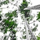 Kauri Pine Canopy by Anthony Wratten