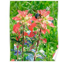 Bee on Indian Paintbrush Poster