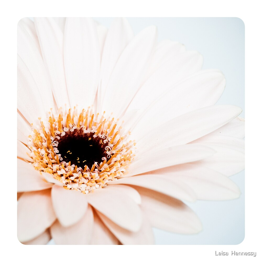 Gerber Daisy by Leisa  Hennessy
