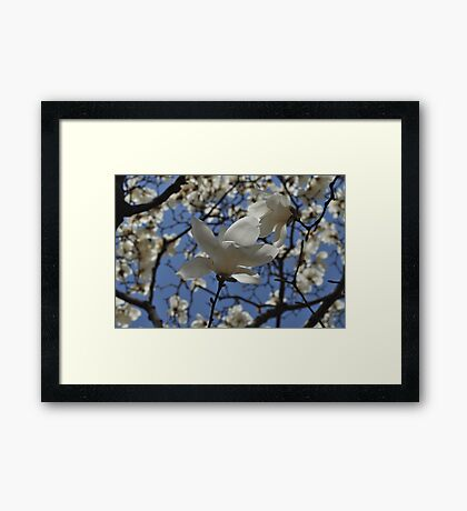 Korean Magnolia in the Park Framed Print