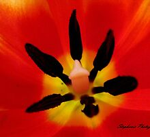 Mama's Tulips by Stephy