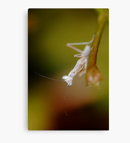 Baby Mantis Canvas Print